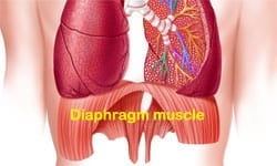 diaphragm muscle