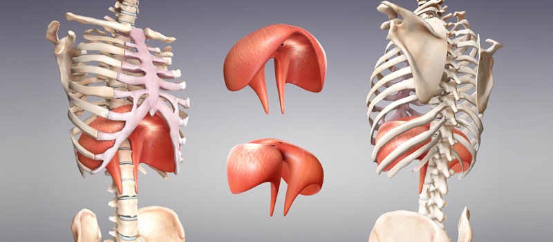 conscious-breathing-diaphragm-muscle - Conscious Breathing